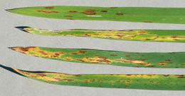 Image of <i>Mycosphaerella recutita</i> (Fr.) Johanson 1884