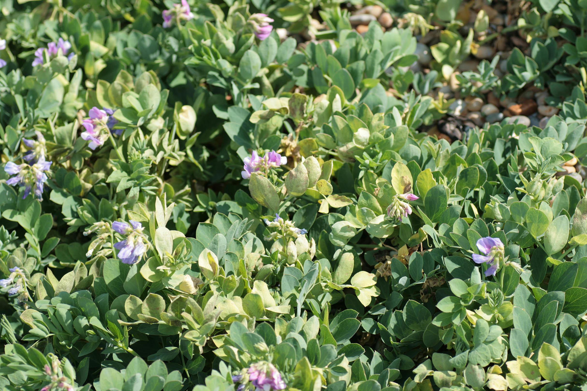 Image of <i>Peronospora viciae</i>