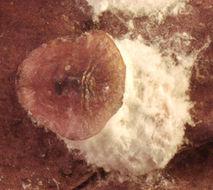 Image of <i>Pulvinaria regalis</i> Canard 1968