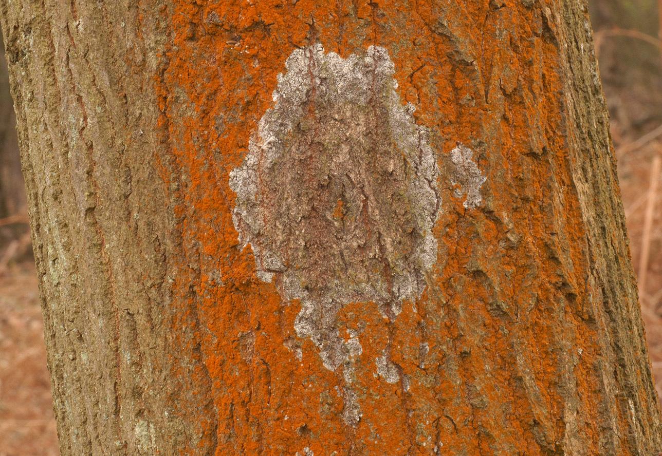 Image of <i>Athelia epiphylla agg</i>
