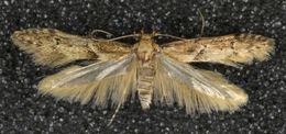 Image of <i>Blastobasis adustella</i> Walsingham 1894
