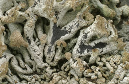 Image of tube lichen
