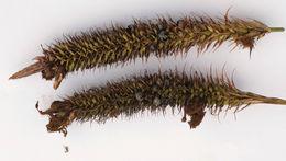 Image of <i>Anthracoidea subinclusa</i> (Körn.) Bref. 1895