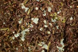 Image of clam lichen