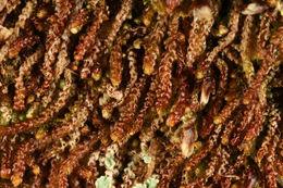 Image of <i>Nowellia curvifolia</i> (Dicks.) Mitt.