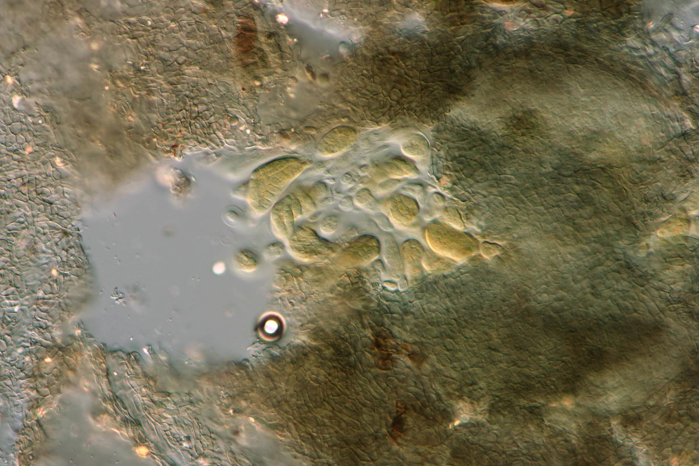 Image of Ceramothyrium