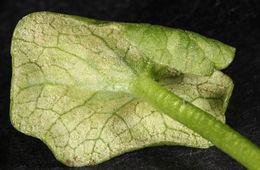 Image of <i>Peronospora ficariae</i>