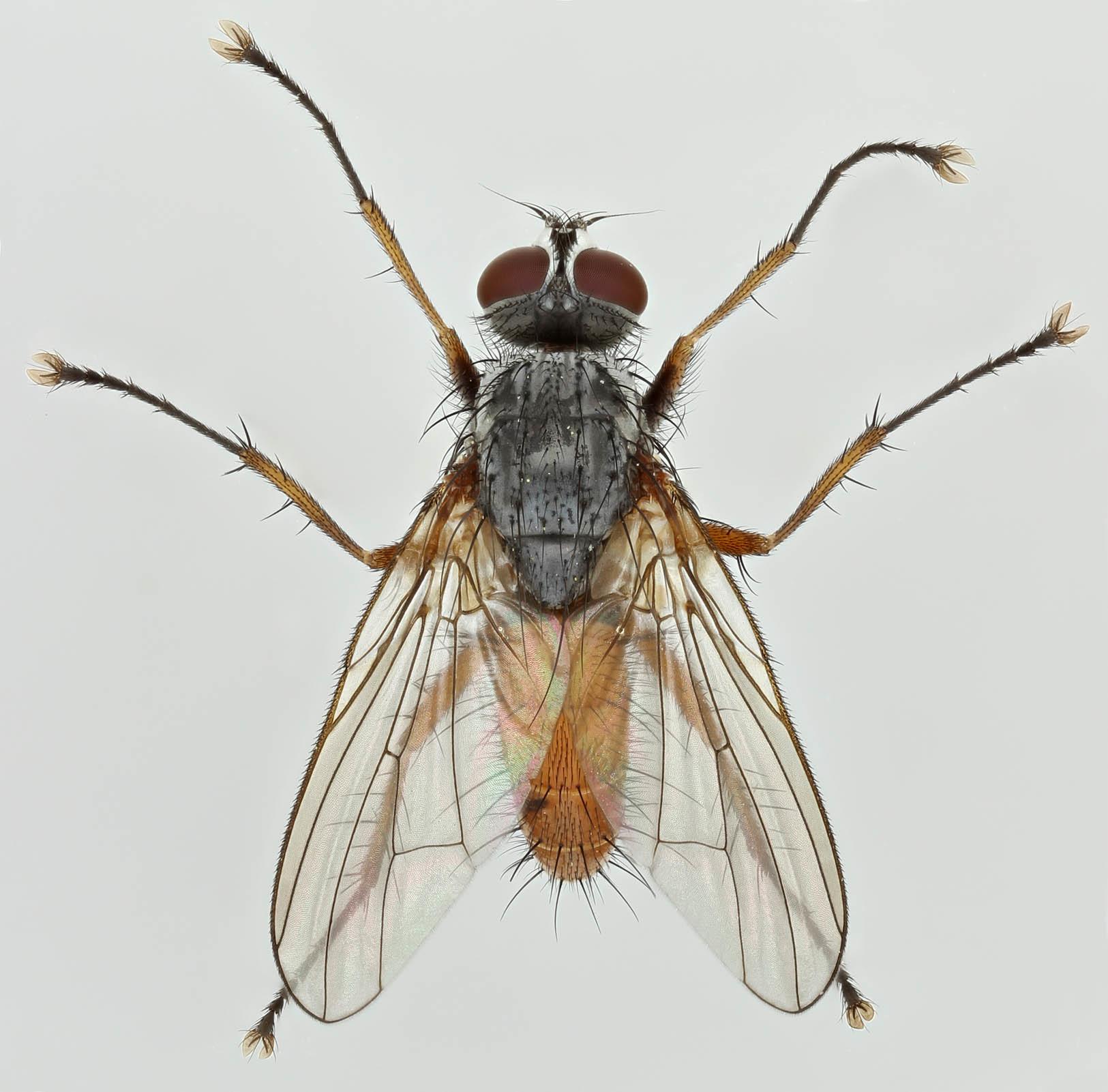 Image of <i>Pegomya bicolor</i> (Wiedemann 1817)