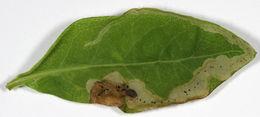 Image of <i>Aulagromyza cornigera</i> Griffiths 1973