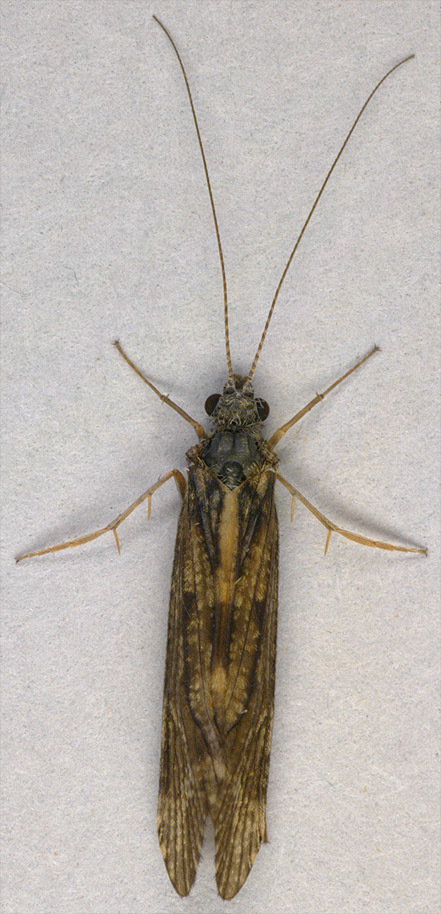 Image of Hydropsyche