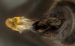 Image of <i>Chromatomyia horticola</i> Goureau 1851