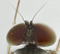 Image of <i>Argyra leucocephala</i> (Meigen 1824)