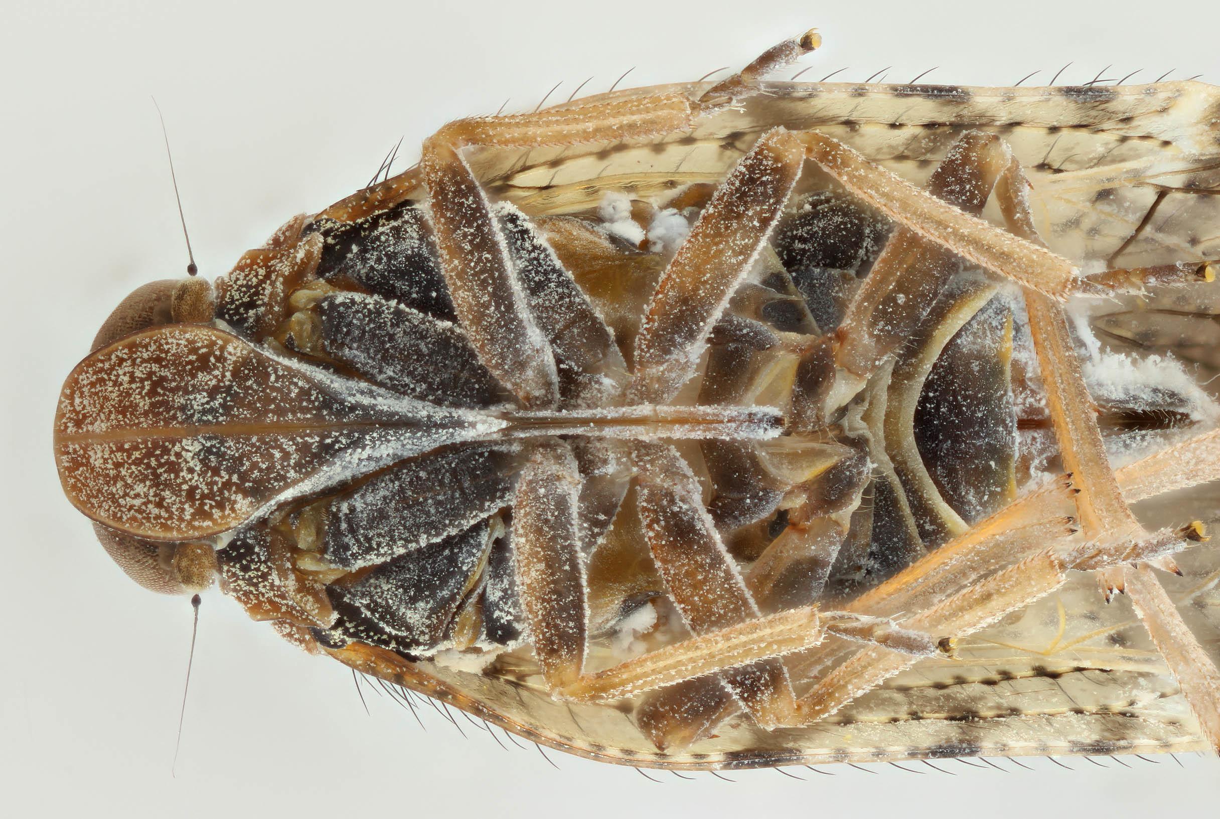 Image of <i><i>Tachycixius</i></i> (Tachycixius) <i>pilosus</i> (Olivier 1791)