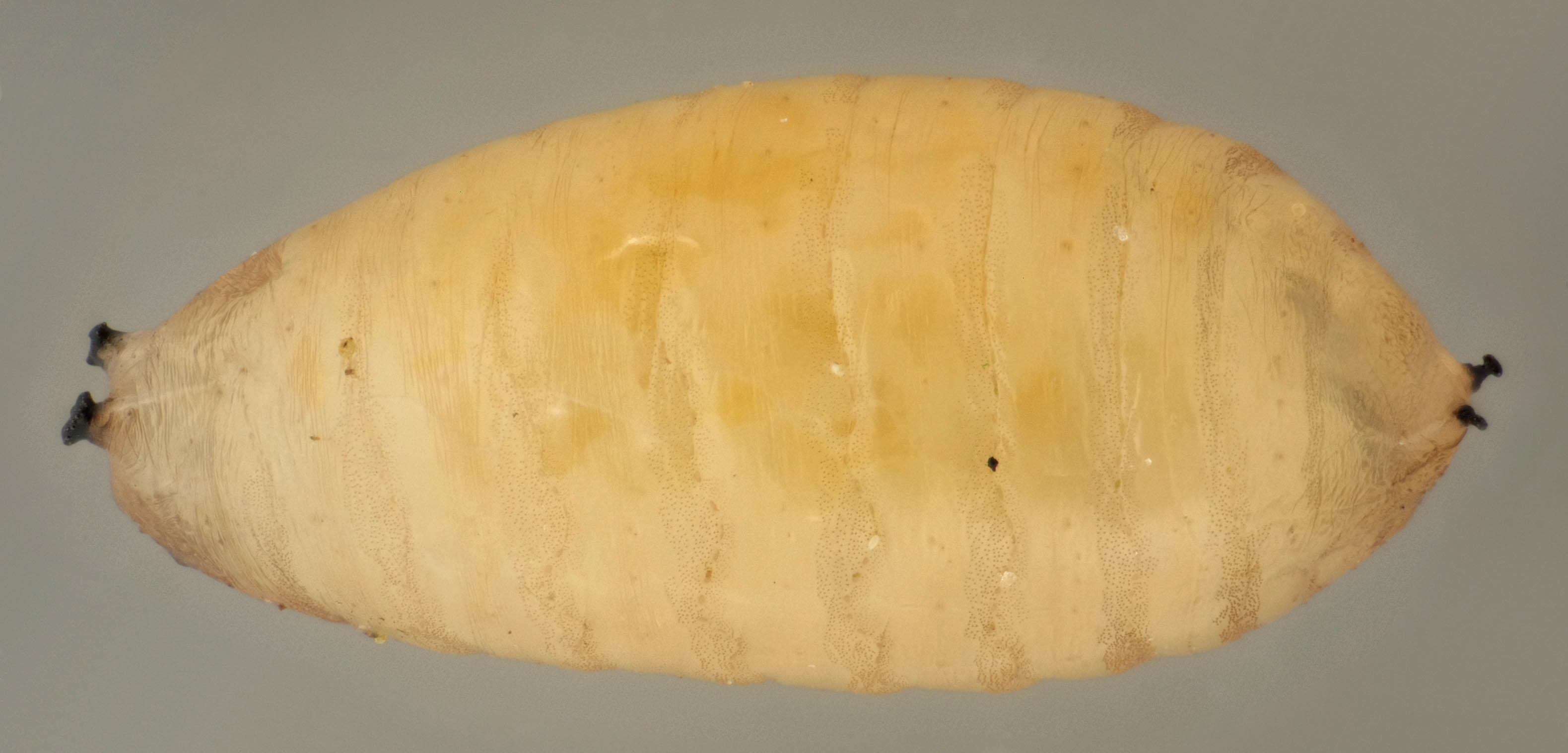 Image of <i>Phytomyza ranunculi</i> (Schrank 1803)