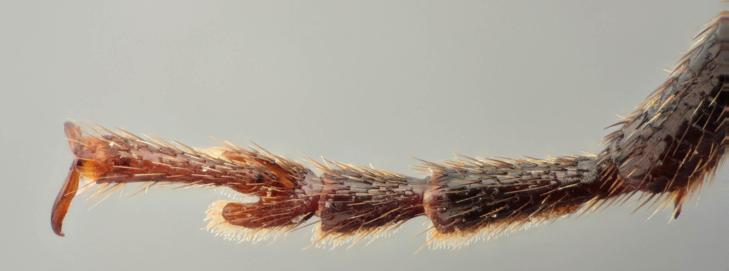 Image of <i>Arhopalus rusticus</i> (Linne 1758)