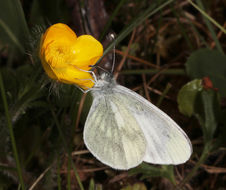 Image of Wood White