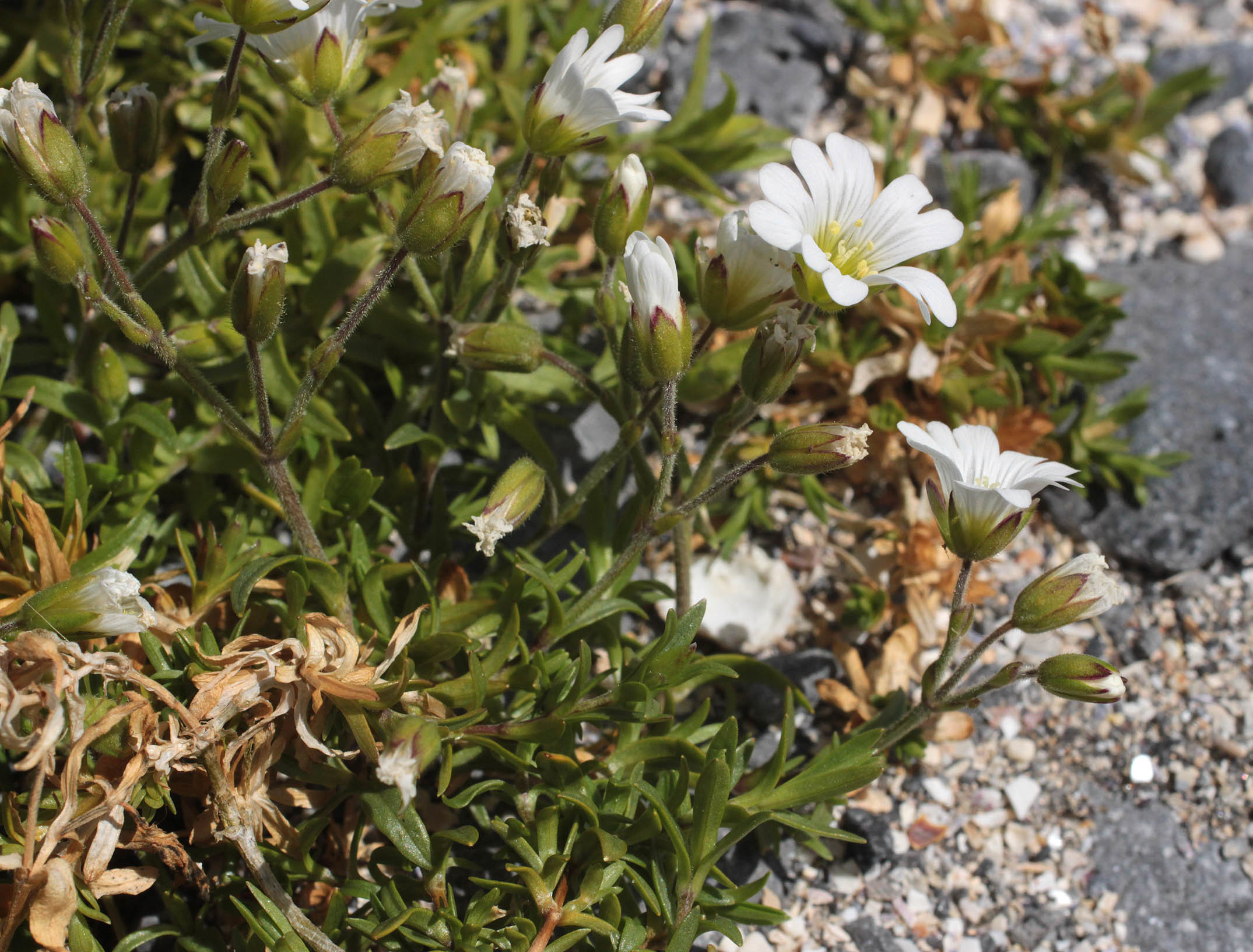 Image of field chickweed
