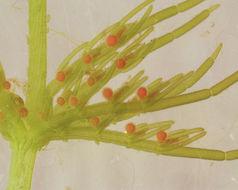 Image of <i>Chara <i>vulgaris</i></i> fm. vulgaris