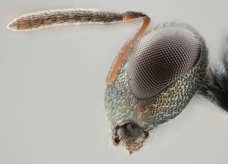 Image of <i>Dibrachys microgastri</i> (Bouche 1834) Bouche 1834