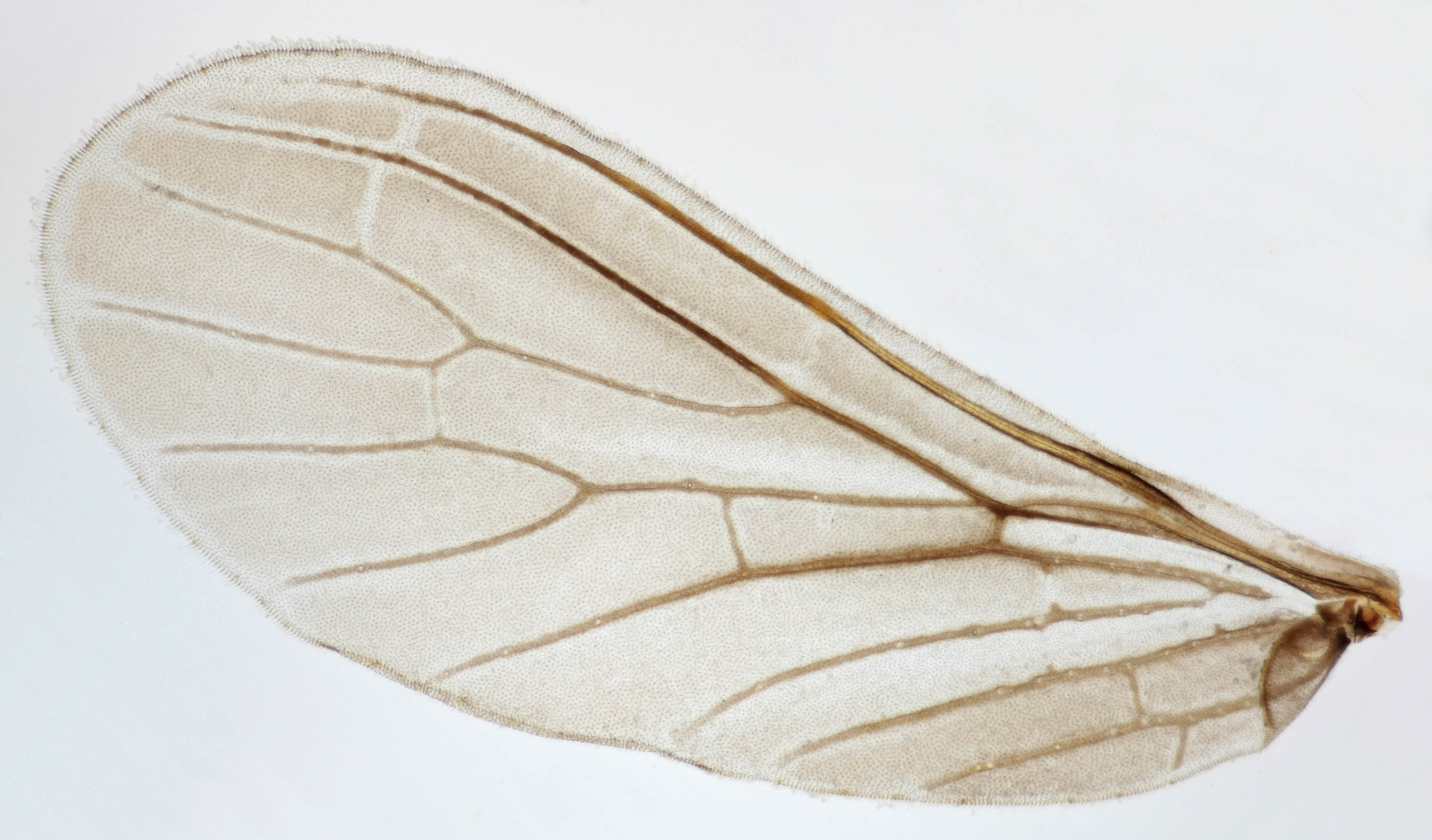 Image of Coniopteryx