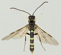 Image of <i>Cephus pygmeus</i> (Linnaeus 1767) Linnaeus 1767
