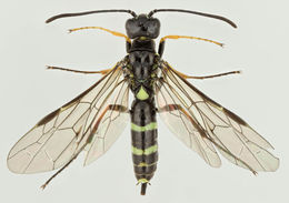 Image of <i>Trachelus tabidus</i>