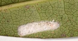 Image of <i>Pulvinaria floccifera</i> (Westwood 1870)