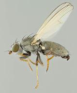 Image of <i>Chamaemyia flavipalpis</i> (Haliday 1838)