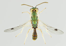 Image of <i>Megastigmus dorsalis</i> (Fabricius 1798)