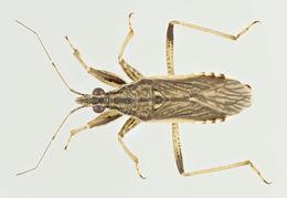 Image of <i>Himacerus major</i>