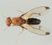 Image of <i>Geomyza venusta</i> (Meigen 1830)