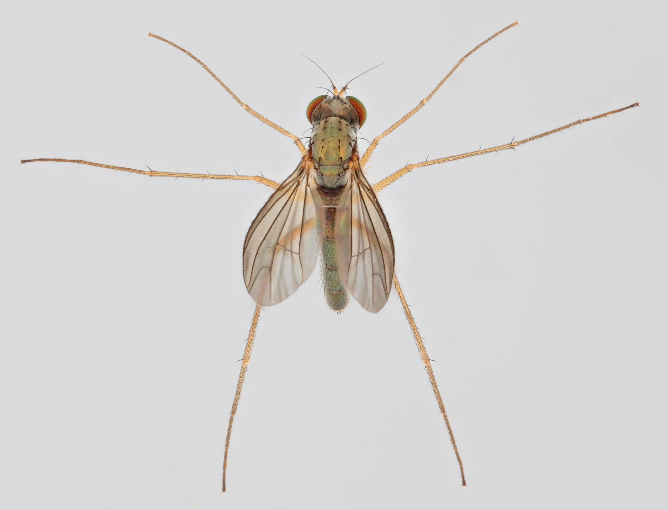 Image of <i>Sciapus platypterus</i> (Fabricius 1805)