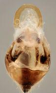 Image of <i>Nabis ericetorum</i> Scholtz 1847