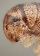 Image of <i>Rickia laboulbenioides</i> De Kesel 2013