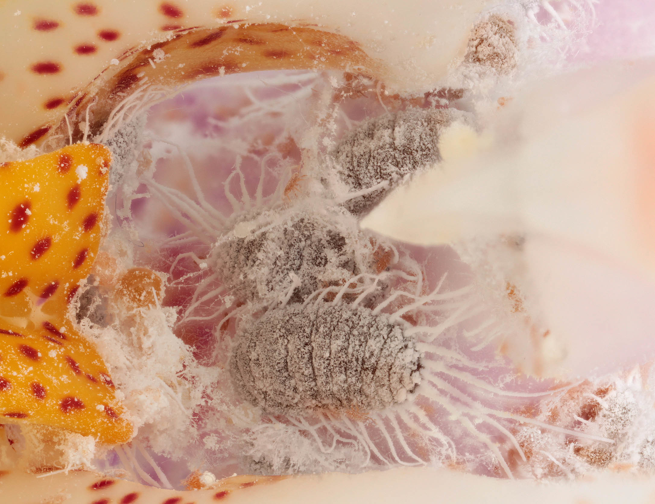 Image of Long-tailed Mealybug