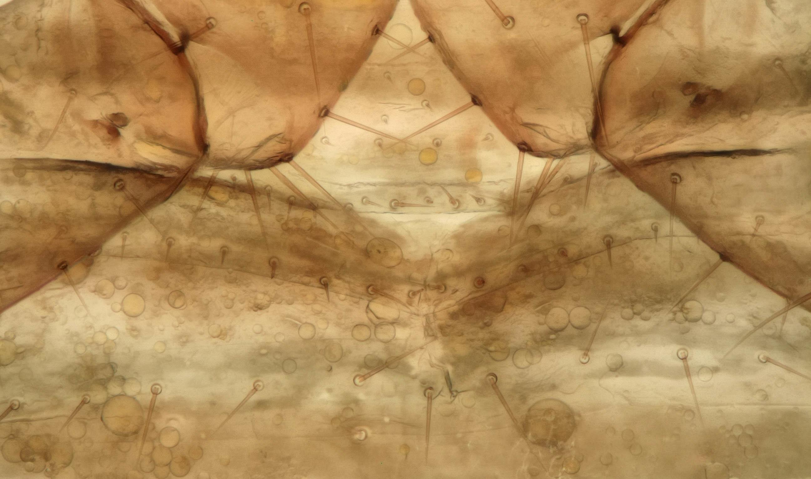 Image of <i><i>Neobisium</i></i> (Neobisium) <i>carcinoides</i> (Hermann 1804)