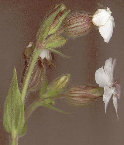 Image of <i>Microbotryum lychnidis-dioicae</i> (DC.) G. Deml & Oberw. 1982