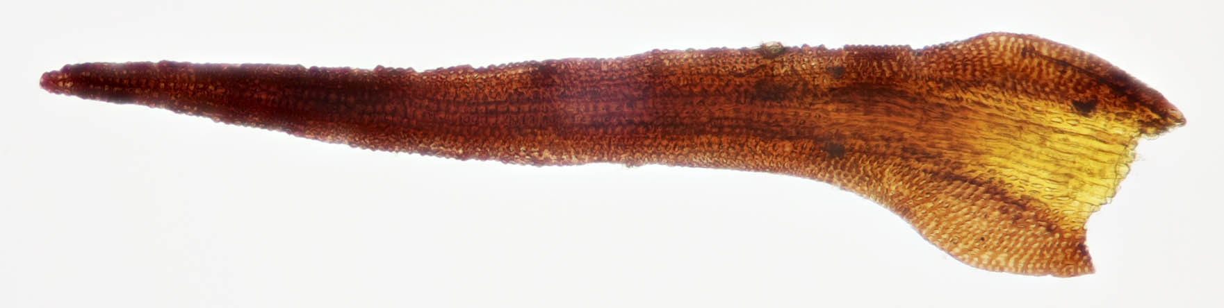 Image of Roth's andreaea moss