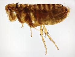 Image of northern rat flea