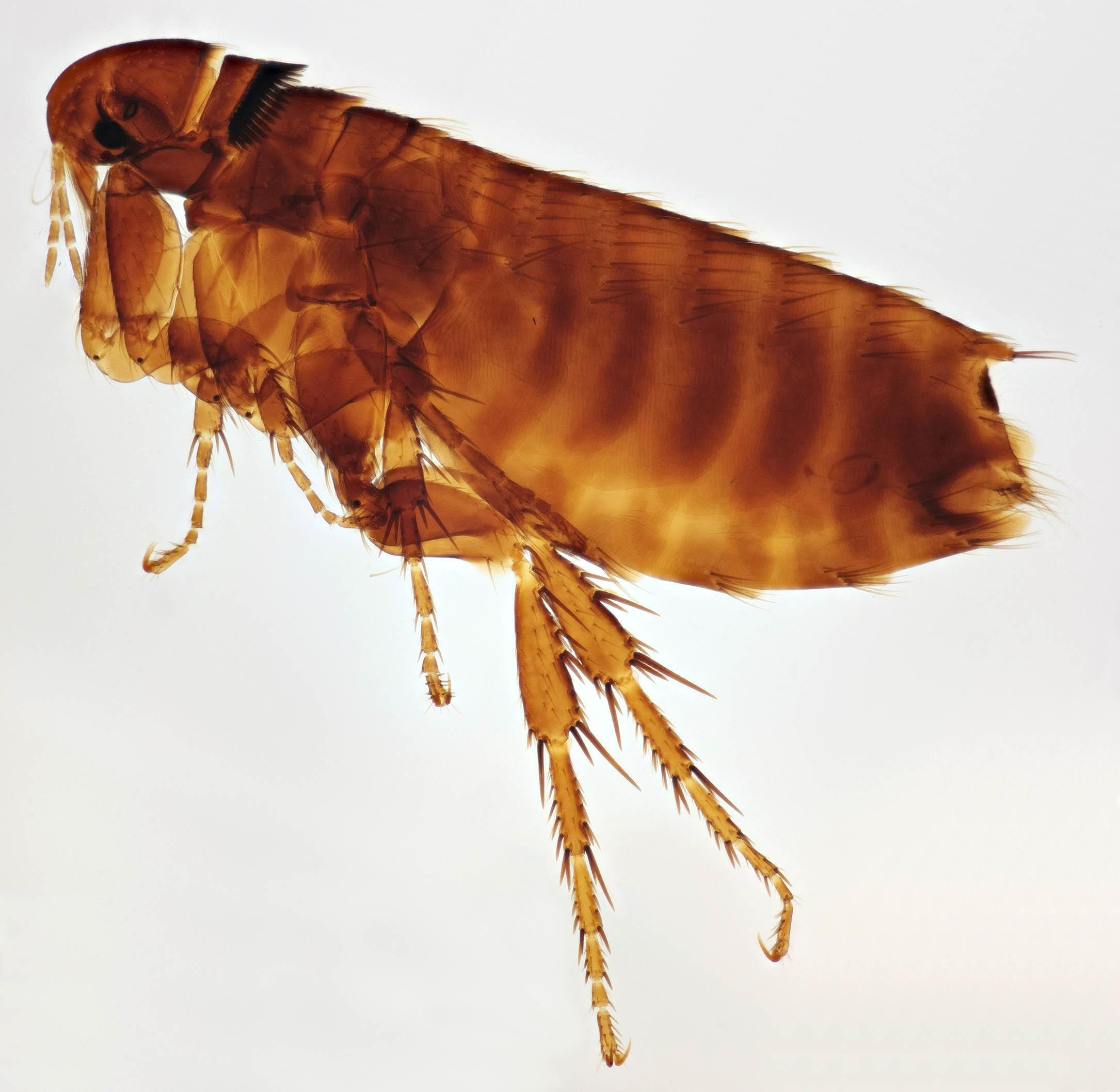 Image of <i>Dasypsyllus <i>gallinulae</i></i> gallinulae (Dale 1878)