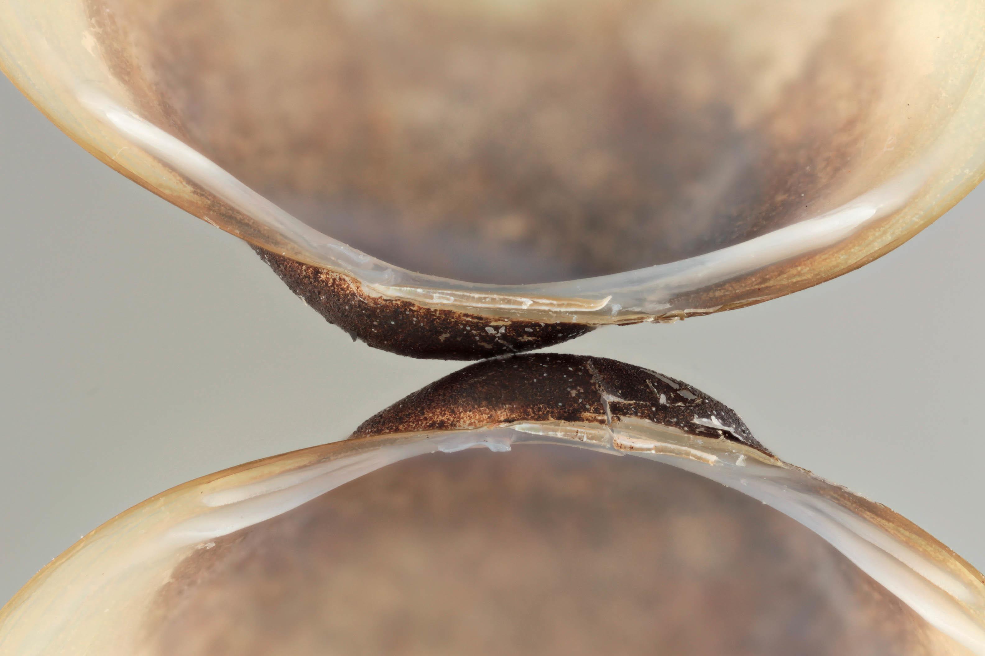 Image of European fingernailclam