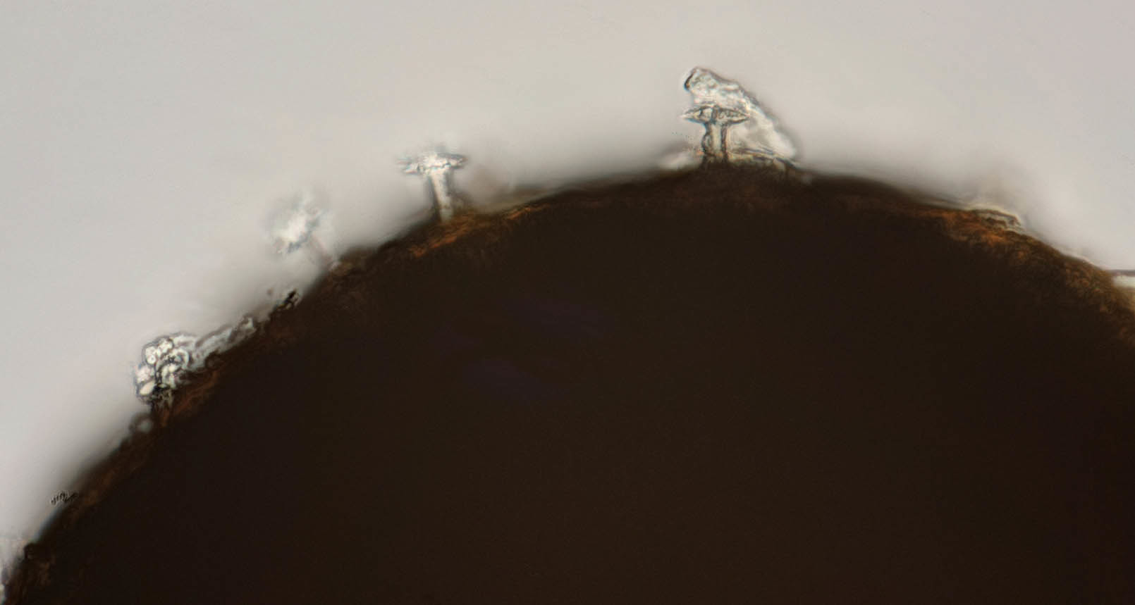 Image of <i>Ephydatia fluviatilis</i> (Linnaeus 1759)