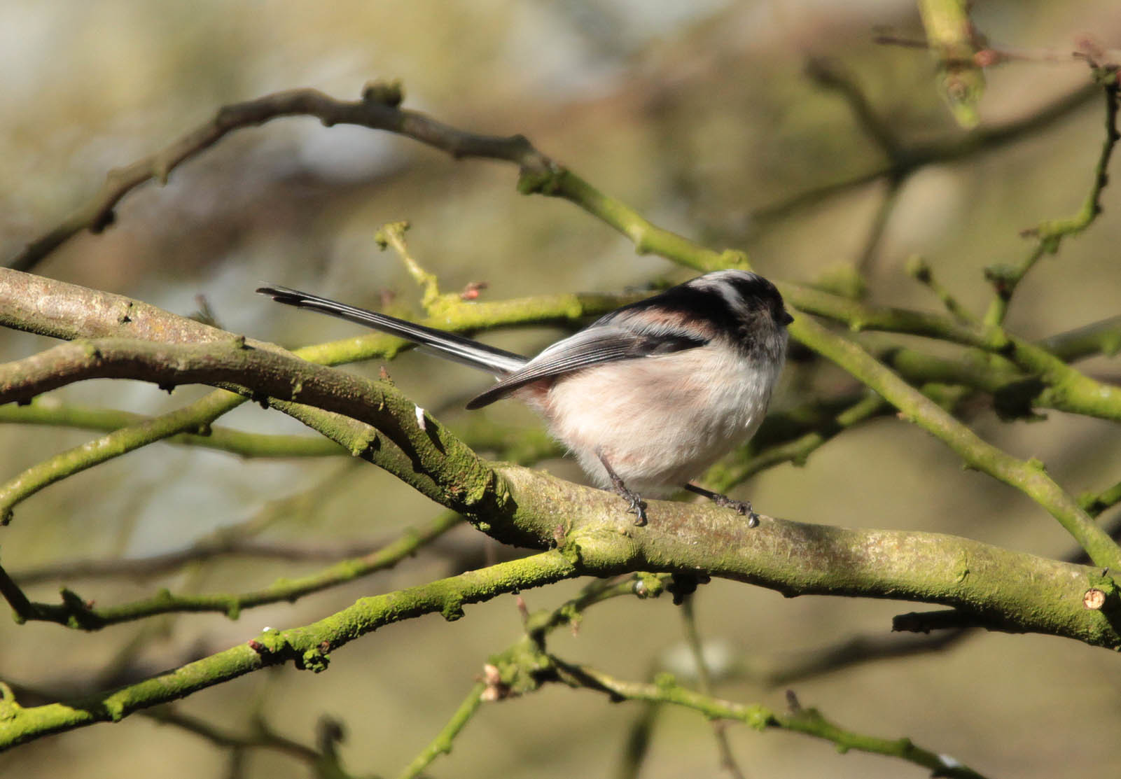 Image of Long-tailed tit