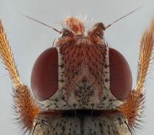 Image of <i>Malacomyia sciomyzina</i> (Haliday 1833)