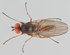 Image of <i>Heteromyza commixta</i> Collin 1901