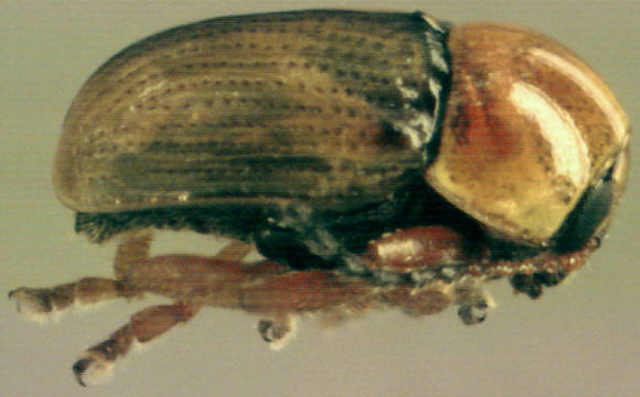Image of <i>Cryptocephalus fulvus</i> (Goeze 1777) Goeze 1777