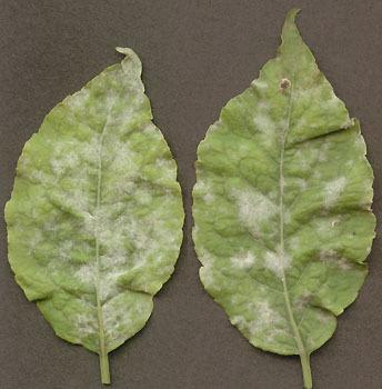 Image of <i>Erysiphe euonymi</i> DC. 1815