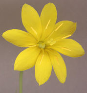 Image of Yellow Wort