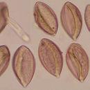 Image of <i>Peronospora violacea</i>