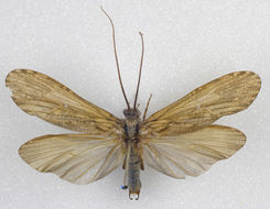 Image of <i><i>Phryganea</i></i> (Phryganea) <i>grandis</i> Linnaeus 1758